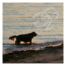 irish setter coming out of the water at sunset photograph thumbnail.