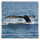 whale tail fine art photograph image thumbnail.