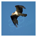 osprey flying photograph thumbnail.