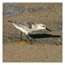 a sandpiper on the beach photograph thumbnail.