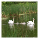 swan family photograph thumbnail.
